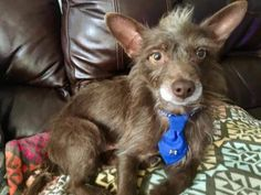 Henry...This silly guy loves the 80's, and insists on sporting his Mohawk. He is a 3yr old terrier x who weighs 11 lbs and is world class at playing tug of war. This little guy is crazy about belly rubs, playing with toys, snuggle time, and car rides. He gets along great with other small dogs, is housebroken and crate trained. Henry is so sweet and loving and looking for a family to give him a 2nd chance at life