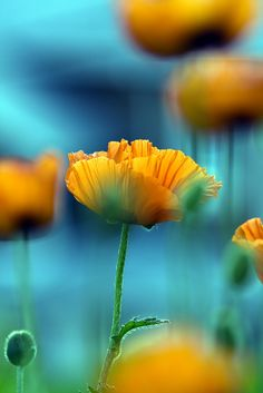~~Orange n Blue | Orange Poppy bokeh | by zoomclic~~