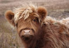 Highland Cow Calf I love these cows. They're ginger like me & have cute bangs :) Highland Calf, Scottish Highland Cow, Baby Highland Cow, Cute Creatures, Beautiful Creatures, Animals Beautiful, Majestic Animals, Cute Baby Animals, Farm Animals