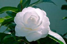 Camélia - Camellia japonica