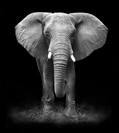 best 25 wallpaper iphone ideas on animal wallpaper iphone Photo Elephant, Image Elephant, Elephant Face, African Elephant, Tier Wallpaper, Black Background Wallpaper, Dark Wallpaper, App Background, Black And White Wallpaper Iphone