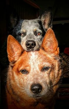 This photo makes my heart flutter as I love heelers. Aussie Cattle Dog, Austrailian Cattle Dog, I Love Dogs, Cute Dogs, Saarloos, Reptiles, Herding Dogs, Dog Rules, Dogs And Puppies