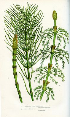 branched wood horsetail, blunt tpped horsetail by dd21207, via Flickr some rights reserved