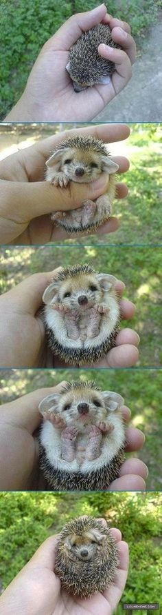 hedgehog .. rates high on the cuteness scale.