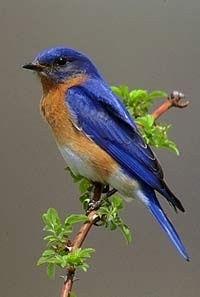 Blue Bird --- north american birds - Bing Images
