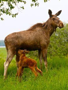 Twin Baby Moose Nursing Their Mama at Wragarden Farm, Sweden. Photo © Green Global Travel.