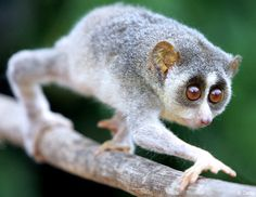 The Loris.  Female lorises practice infant parking, leaving their young infants behind in nests. Before they do this they bathe their young with allergenic saliva that is acquired by licking patches on the insides of their elbows that produce a mild toxin that discourages most predators.
