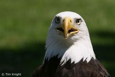 bald eagle pictures | Wallpaper Collections