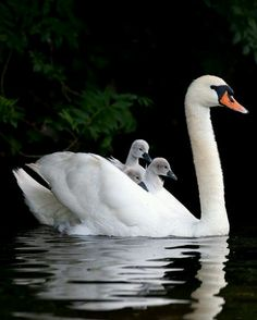 an adult swan and baby cygnets