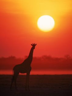 Look at the magesticness of this giraffe on the safari...