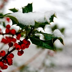 Christmas holly dusted with snow