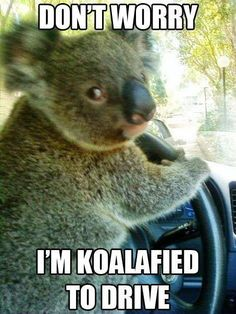 Funny pictures about Chauffeur Koala. Oh, and cool pics about Chauffeur Koala. Also, Chauffeur Koala. Funny Animal Jokes, Cartoon Jokes, Cute Funny Animals, Funny Animal Pictures, Funny Koala, Koala Meme, Animal Puns, Funny Cartoons, Animal Captions