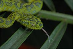 Juvenile Merendon Palm-pitviper (Bothriechis thalassinus). Photo by Don Church, Global Wildlife Conservation. One of the most fascinating species in the forest is the elusive and little-known Merendon palm pit viper. A bluish-green snake, the species was only described in 2000.