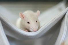 rats <3 fluffy soft focus naps.