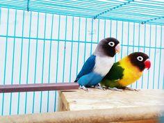 Lovebird ❤