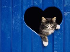 Cat in a blue heart