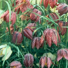 Fritillaria. Have to plant them in pots.