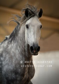Lusitano stallion - title 50 Shades Of Grey - by Anette Augestad on 500px