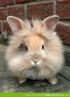 Funny pictures about Lionhead Bunny. Oh, and cool pics about Lionhead Bunny. Also, Lionhead Bunny. Funny Bunnies, Baby Bunnies, Cute Bunny, Bunny Rabbits, Easter Bunny, The Animals, Baby Animals, Funny Animals, Lionhead Rabbit