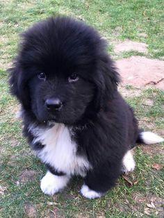 Newfoundland puppy Aslan