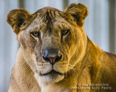 Sasha lioness at Dade City's Wild Things