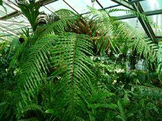 Polypodiaceae - Drynaria sp. - Drynaria