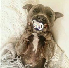 Pit bull cutie pie #pitbullbinkie
