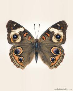 Common Buckeye Butterfly Print by Allison Trentelman