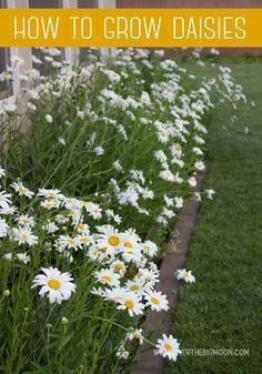 How to grow a thriving Daisy garden