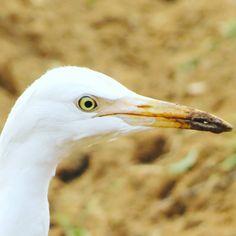 So close  #heron #birdsofkerala #bird #eyes #whiteheron #white #white #birds #canon📸 #myclicks #photography #photographer