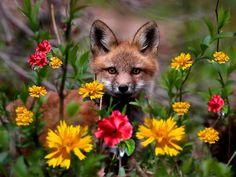 Sweet little Fox - Other Wallpaper ID 1827210 - Desktop Nexus Animals Tier Wallpaper, Animal Wallpaper, Beautiful Creatures, Animals Beautiful, Cute Animals, Little Fox, Glass Animals, Mundo Animal, Red Fox