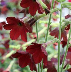 Red Maltese Cross Flower Seeds Swallowtail butterflies 500 to 5000 SEEDS