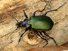 The Fiery Searcher Beetles were everywhere in our woods last spring -  beautiful!