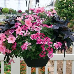 "I like the color combination ""Pink & Ink"" for front porch planters... Impomoea (Sweet Potato Vine) Sidekick Black"
