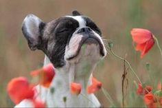 I fiori di Bach per gli animali........I rimedi floreali sono facili da somministrare agli animali. Possono essere aggiunti agli alimenti o all'acqua potabile, senza compromettere la loro efficacia. Il dosaggio massimo è di sette-otto rimedi per volta, quattro gocce per ogni rimedio, per quattro volte al giorno. Se vi viene più facile, mettete le gocce sulla vostra mano e lasciate che l'animale le lecchi via, oppure aggiungetele a piccoli pezzi di pane o biscotti morbidi.
