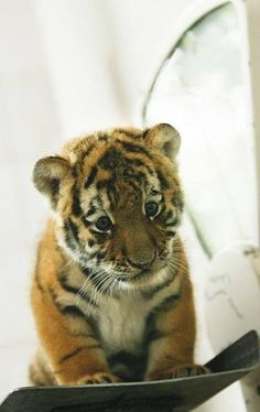 110 Baby Animals Looking Sad Baby tiger. If only we could train them not to kill and to keep them miniature! Fluffy Animals, Cute Baby Animals, Animals And Pets, Wild Animals, Animals Kissing, Animals Planet, Safari Animals, Beautiful Cats, Animals Beautiful
