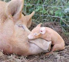 pigs pigs