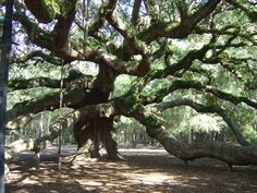 Would love to see the Angel Oak Tree