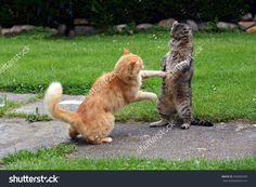 Battle Cats 写真素材 466600439 : Shutterstock