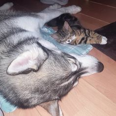 ハスキー犬・クマは、愛する人と離れるのが怖くてたまらなくなる「分離不安症」を抱えています。 そんな彼のもとに、飼い主のサラさんが、新たな家族を連れてきました。 ネット上で引き取り手を募集していた子猫のトラ。 初めて会った日から、2匹は互いにピッタリとくっついて生活するようになりました。 サラさんは語ります。 トラは最初、私のことも主人のことも怖がってたけど、クマにはすぐに懐いていた。 彼女はクマについて歩きながら、彼の足に体を擦り付けて、その姿が見えなくなると、狂ったように鳴き出すの。 その内、最初は興奮してたクマも、だんだんと「母親」みたいな振る舞いをみせるようになっていったわ(笑) 愛してくれる誰かを探していたトラと、愛すべき誰かを探していたクマ。 これを「運命の出会い」と呼ばずして、なんと呼びましょう(*´∀`*) 温かい絆があふれる素敵な写真の数々に、ほっこりさせていただきました! (参照:LoveMeow)