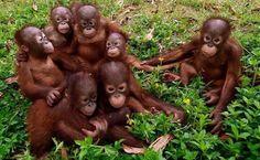 Primates, Mammals, Cute Baby Animals, Animals And Pets, Beautiful Creatures, Animals Beautiful, Beautiful Images, Gato Animal, Baby Orangutan