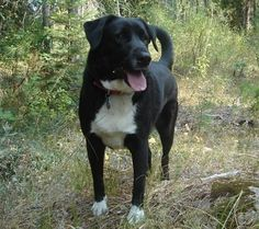 Lab Border Collie Mix, looks so much like Crosby.