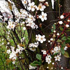 Priory Park Cherry Blossom