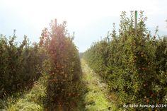 Der Blick... auf den Südtiroler Apfel... er ist reif... Erntezeit!