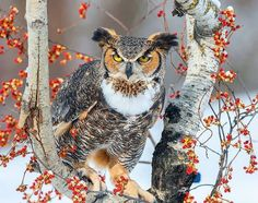 https://www.facebook.com/419698664792927/photos/a.419716744791119.1073741828.419698664792927/772265972869526/?type=1 Great Horned Owl (Bubo virginianus)