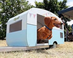 When you are going on vacation you need a trailer for your sausagedog IG @theodoretheminisausage #Dachshund