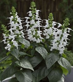 'Summer Jewel White', an award-winning salvia, draws hummingbirds, bees and butterflies with its flowers. It has a compact size for easy…