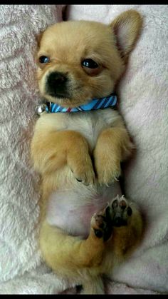 Puppy belly