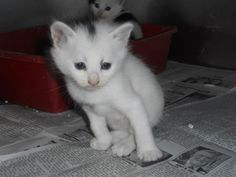 URGENT! IN DANGER! NEED ADOPTION OR RESCUE ASAP! ID#A025406 I am a black and white Domestic Shorthair. The shelter staff think I am about 4 weeks old... Rutherford County Animal Control, NC ~ Community Pet Center 828 287 7738