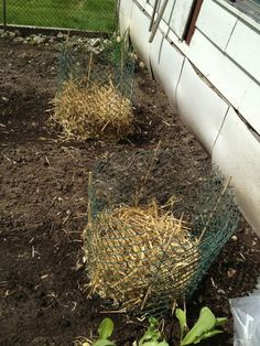 how to grow potatoes in straw in containers